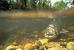 Spawning Salmon, Cedar River, Washington