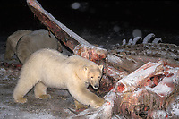 polar bear, Ursus maritimus, scavenging on a baleen whale bone, Balaena mysticetus, at night in the 1002 coastal plain, Arctic National Wildlife Refuge, Alaska, polar bear, Ursus maritimus