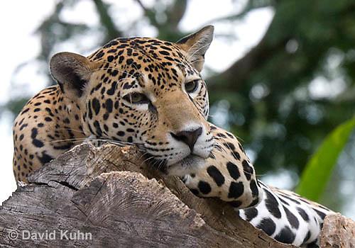 0522-1103  Goldman's Jaguar, Belize, Panthera onca goldmani  © David Kuhn/Dwight Kuhn Photography