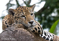 0522-1103  Goldman's Jaguar, Belize, Panthera onca goldmani  © David Kuhn/Dwight Kuhn Photography