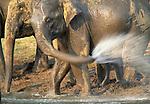 Indian elephants, Nagarhole National Park, India