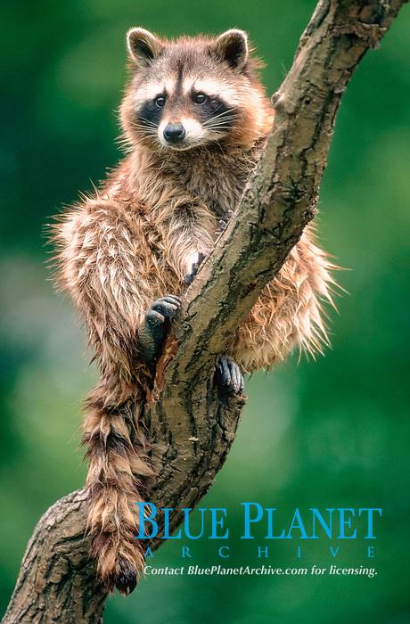 Raccoon / (Procyon lotor)