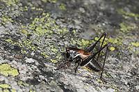 Alpen-Strauchschrecke, Männchen, Pholidoptera aptera, Thamnotrizon apterus, Alpine dark bushcricket