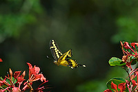 Giant Swallowtail Butterfly (Papilio cresphontes) inflight--while nectaring on flowers..
