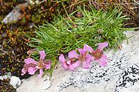 Zwerg-Seifenkraut, Zwergseifenkraut, Niedriges Seifenkraut, Saponaria pumila, Saponaria pumilio, Dwarf Soapwort, pygmy pink