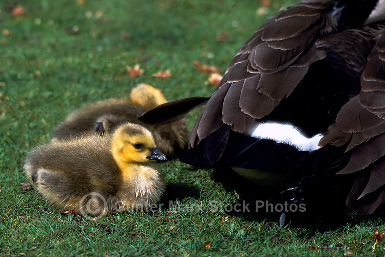 Canada Geese (Branta canadensis) - Canada Goose Parent Bird and Gaggle of Young Goslings