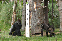 Lowland Gorillas<br /> at the London Zoo annual Weigh-In, Regents Park, London<br /> <br /> <br /> ©Ash Knotek  D3296  24/08/2017
