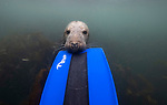 Divers explore seals underwater world off the Northumberland coast by Brian Matthews