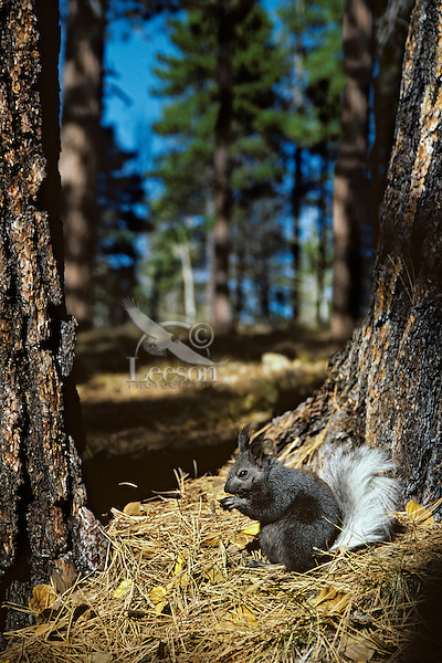 Kaibab Squirrel or tassel-eared squirrel (Sciurus aberti kaibabensis).in ponderosa pine forest north rim of Grand Canyon, Kaibab Plateau, Arizona.  Fall.