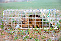 Raccoon (Procyon lotor), life trap, caught in trap, Lower Saxony, Germany, Europe