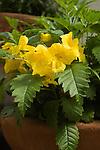 TECOMA STANS 'FANTASTIC FLOWERS MAYAN GOLD', YELLOW ELDER