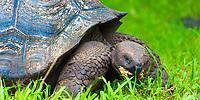Galapagos giant tortoise close-up portrait, eating in green grassland, on Santa Cruz Island, in the Galapagos Archipelago, Ecuador