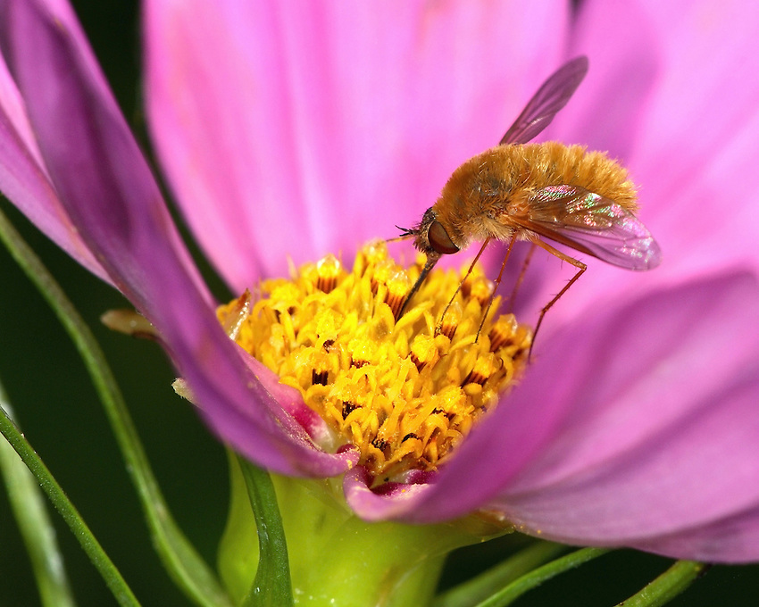 Bees are hairy, often brightly colored flies.