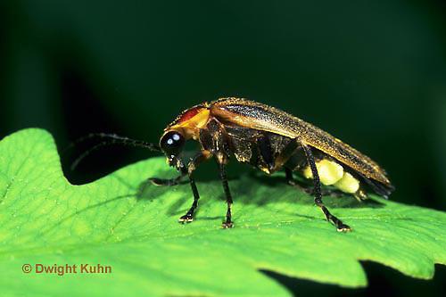 1C24-004z  Firefly - Lightning Bug - Photuris spp.