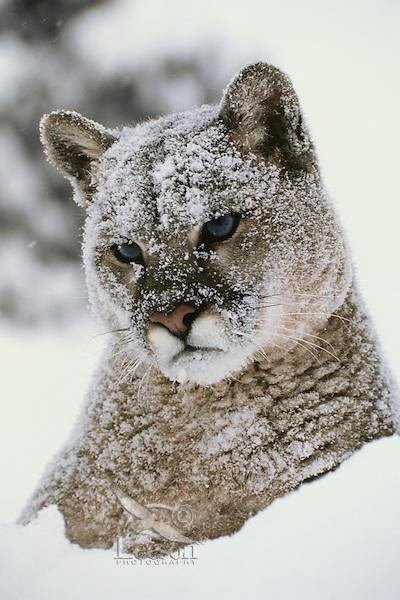 Mountain lion, cougar, or puma (Felis concolor) in winter.  Western U.S.