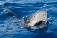 oceanic whitetip shark, Carcharhinus longimanus, lifting head with mouth open to bite on a bait, note nictitating membrane on eye, Kona Coast, Big Island, Hawaii, USA, Pacific Ocean