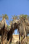 Israel, Negev, Date trees in Ein Zin