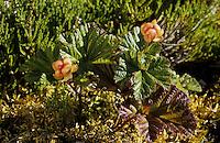 Moltebeere, Molte-Beere, Multebeere, Multbeere, Früchte, Rubus chamaemorus, cloudberry