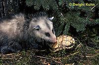 MA30-013z  Virginia Opossum - examining box turtle - Didelphis virginiana