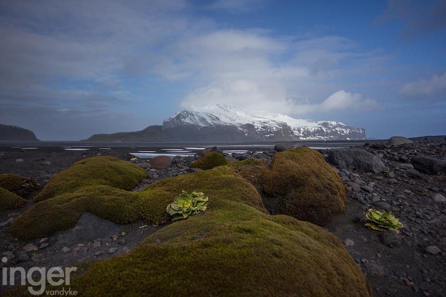 Heard Island moss and Kerguelen Cabbage, Antarctica