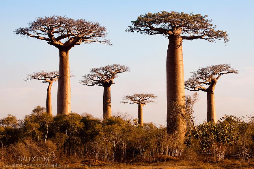 Boabab trees {Adansonia grandidieri} in evening light. Morondava, Madagascar.
