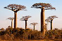 Boabab trees {Adansonia grandidieri} in evening light. Morondava, Madagascar.