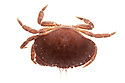 Edible Crab (Cancer pagurus). Photographed on a white background. Isle of Skye, Inner Hebrides, Scotland, UK. March.