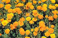 Kalifornischer Kappenmohn, Kappen-Mohn, Gold-Mohn, Mohn, Goldmohn, Schlafmützchen, Eschscholzia californica, California Poppy, Pavot jaune de Californie