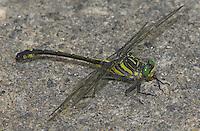 Dragonhunter (Hagenius brevistylus) Dragonfly - Male resting on concrete while patrolling nearby stream, Pharaoh Lake Wilderness Area, Ticonderoga, Essex County, New York