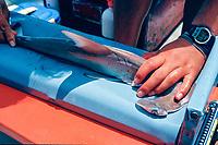 scalloped hammerhead shark pup, Sphyrna lewini, measuring procedure, research at    Kaneohe Bay, Oahu, Hawaii, North Pacific Ocean