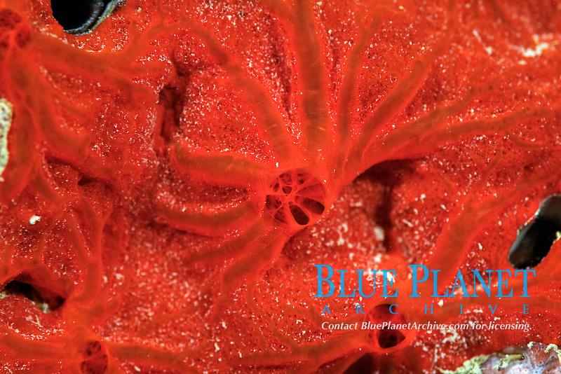Red encrusting sponge, Clathria sp., Pohnpei, Federated States of Micronesia