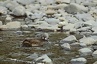 Harlequin Duck hen feeding on young salmon smolt.  Pacific Northwest.  Spring.