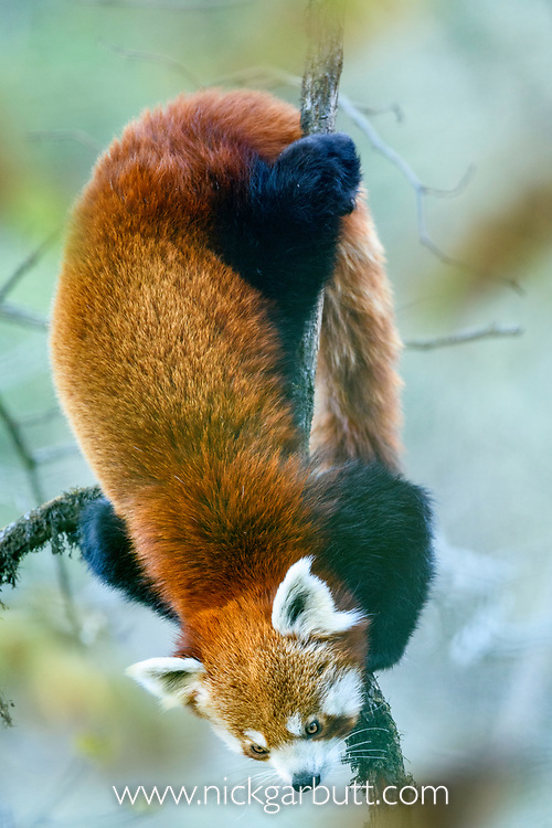 Adult red panda (Ailurus fulgens) (western subspecies A. fulgens fulgens) (sometimes lesser panda, red bear-cat, red cat-bear) climbing in temerate forest understorey. Mid montane forest, Himalayan foothills, Singalila National Park, India / Nepal Border.