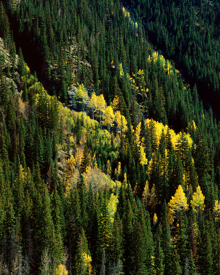 """""""The Eruption of the Aspens""""<br /> Piney River Valley<br /> White River National Forest<br /> Vail, Colorado<br /> 2016<br /> <br /> The fall colors of the Aspens seem to explode through the evergreens along the mountain side next to the Piney River Trail.<br /> <br /> 4x5 Large format film"""