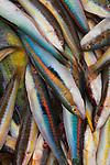 Mediterranean Rainbow Wrasse fish Italy. Puglia, 2006