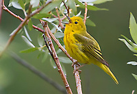 North America has more than 50 species of warblers, but few combine brilliant color and easy viewing quite like the Yellow Warbler. In summer, the buttery yellow males sing their sweet whistled song from willows, wet thickets, and roadsides across almost all of North America.