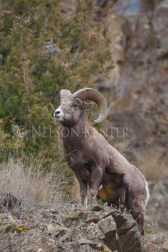 Bighorn Sheep ram on rocky hill in Montana