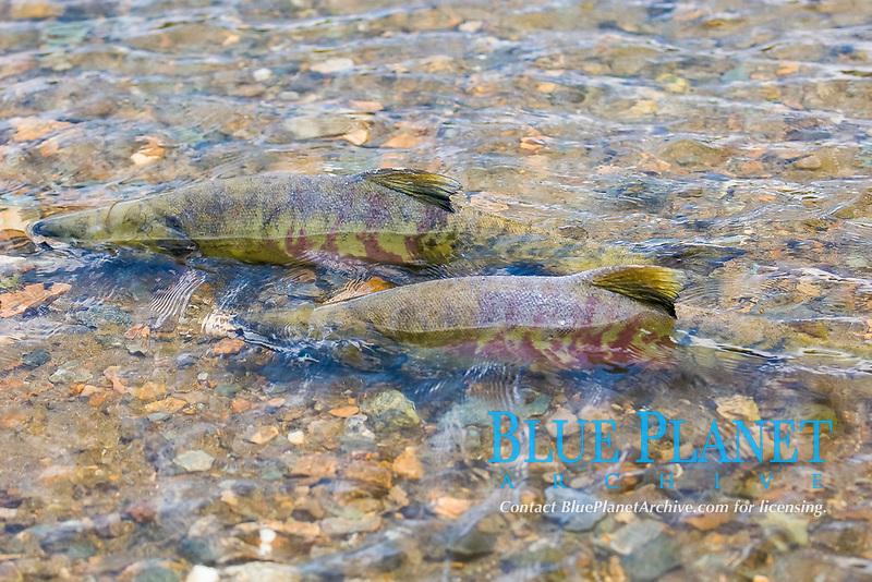 Spawning Chum Salmon Oncorhynchus keta Juneau Alaska