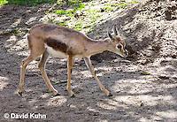 0602-1103  Speke's Gazelle, Smallest of Gazelle Species, Gazella spekei  © David Kuhn/Dwight Kuhn Photography