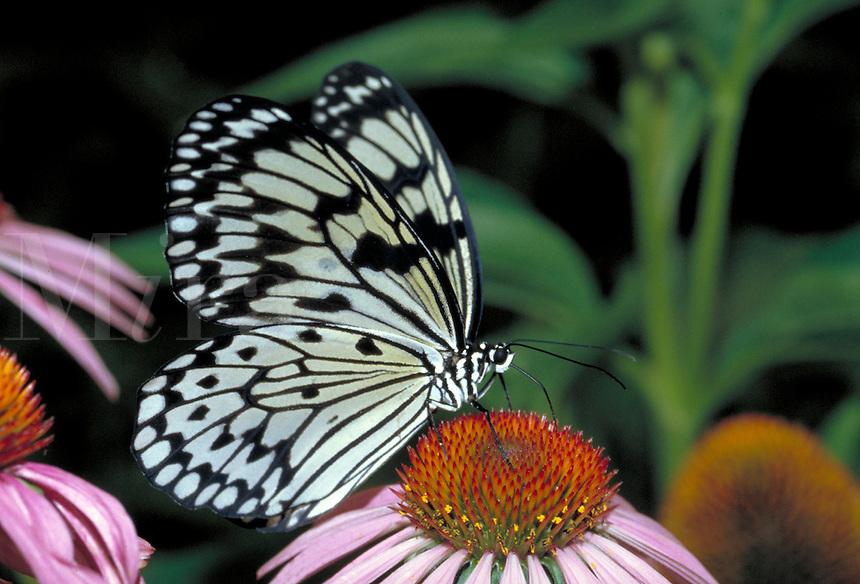 IDEA LEUCONOE, Ricepaper Butterfly, nectoring on ECHINACEAE PURPURA Purple Coneflower.     subfamily - Danainae;    family - Nymphalidae;   order - Lepidoptera;      class - Insecta;    phyllum - Arthropoda;     kingdom - Animal ia. NEW ORLEANS LOUISI