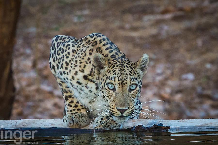 Leopard in Sasan Gir, Gujarat, India