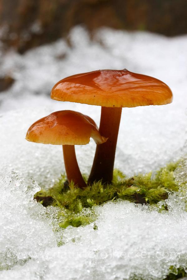 Gemeiner Samtfußrübling, Gemeiner Samtfuß-Rübling, Winterpilz, Winter-Pilz, Enoki, Enokidake, Enokitake, Flammulina velutipes, Collybia velutipes, golden needle mushroom, winter mushroom, velvet foot, velvet stem