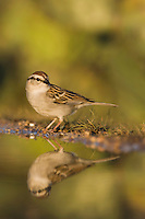 Chipping Sparrow, Spizella passerina, adult drinking, Uvalde County, Hill Country, Texas, USA, April 2006