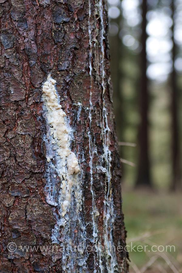 Baumharz, Harz, Fichtenharz tritt an einem verletzten Stamm einer Fichte aus