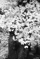 Infrared maple at Lost Maples State Natural Area, Texas.<br /> <br /> Nikon F3HP, 24mm lens, red filter, Kodak High Speed Infrared fim