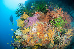 Bligh Waters, Rakiraki, Viti Levu, Fiji; a scuba diver swims alongside a wall covered in colorful soft corals, sea fans and green Black Sun Coral