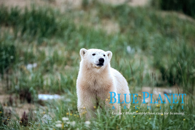Young Polar Bear, Ursus maritimus, in the grass, Churchill, Manitoba, Canada, polar bear, Ursus maritimus