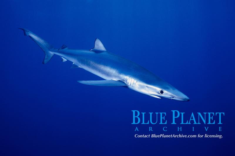 Free swimming blue shark, Prionace glauca, San Diego, California , Pacific Ocean