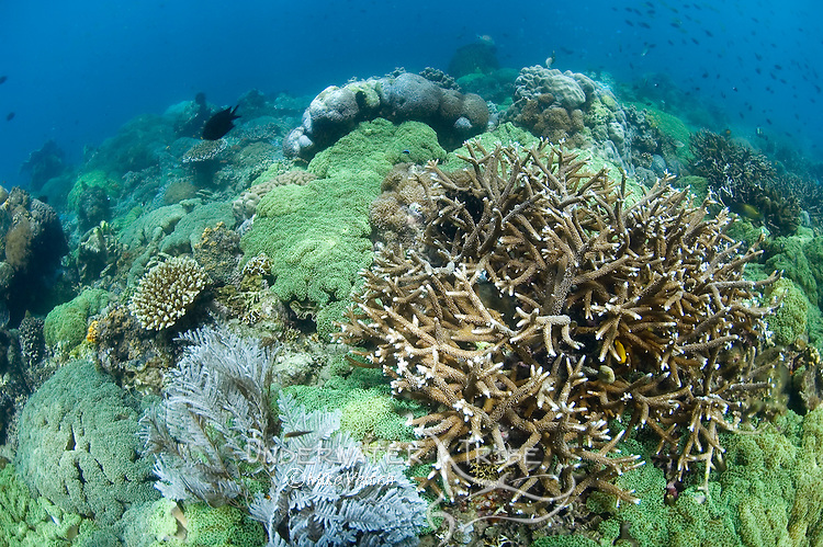 Healthy coral reef with a mixed variety of hard and soft corals, Porites sp., Acropora sp., and hydroids, Aglaophenia sp.., Anilao, Batangas, Philippines, Pacific Ocean