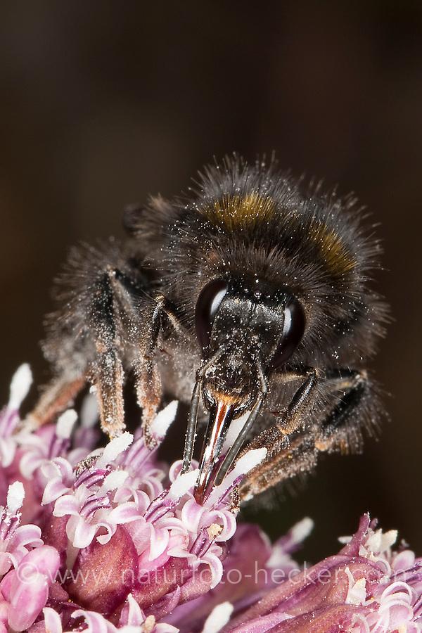 Wiesenhummel, Wiesen-Hummel, Portrait mit Saugrüssel, Bombus pratorum, syn. Pyrobombus pratorum, beim Blütenbesuch, Nektarsuche, Bestäubung, early bumble bee